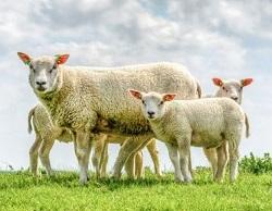 sheepのイメージ画像