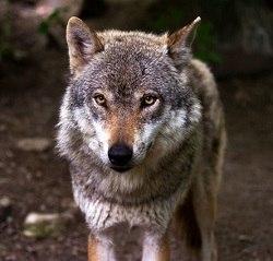 wolfのイメージ画像